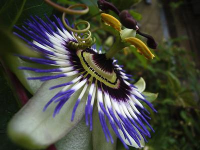 Passion flower - weird!