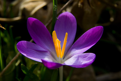2008 crocus (converted from RAW)